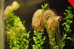shedd_jelly fish (2)
